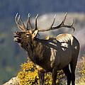 Autumn Bull Elk Bugling by Gary Langley