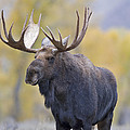 Autumn Bull Moose IIi by Gary Langley