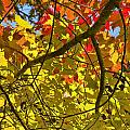 Autumn Maple Leaves by Randall Nyhof