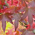Autumnal Liquidambar Leaves by Lee Avison