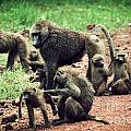 Baboons In African Bush by Michal Bednarek