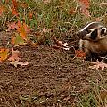 Badger  Taxidea Taxus by Carol Gregory