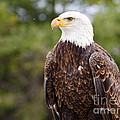 Bald Eagle by Les Palenik