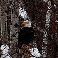 Bald Eagle by Omaste Witkowski