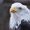 Bald-eagle-profile by Angelika Sauer