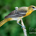 Baltimore Oriole Icterus Galbula by Anthony Mercieca