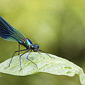 Banded Demoiselle Digital Art by Chris Smith