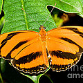 Banded Orange Butterfly by Millard H. Sharp