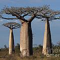 baobabs of Madagascar by Rudi Prott