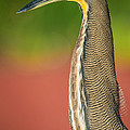 Bare-throated Tiger Heron Tigrisoma by Panoramic Images