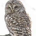 Barred Owl by Cheryl Baxter