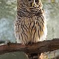 Barred Owl by Dennis Hammer