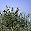 Beach Grass by Betty Depee
