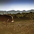 Beautiful Image Of New Forest Pony Horse Backlit By Rising Sun I by Matthew Gibson