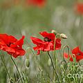 Beautiful Poppies 1 by Carol Lynch