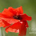 Beautiful Poppies 3 by Carol Lynch