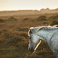Beauttiful Close Up Of New Forest Pony Horse Bathed In Fresh Daw by Matthew Gibson