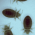 Bed Bugs Cimex Lectularius by Science Picture Co