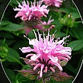 Bee Balm Named Panorama Pink by J McCombie