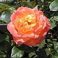 Beijing Rose