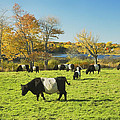 Belted Galloway Cows Grazing On Grass In Rockport Farm Fall Main by Keith Webber Jr