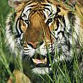 Bengal Tiger by David Davis