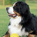 Bernese Mountain Dog by Rolf Kopfle