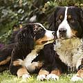 Bernese Mountain Dogs by Jean-Michel Labat