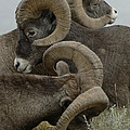 Big Horn Sheep  by Bob Christopher