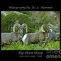 Big Horn Sheep by Dennis Hammer