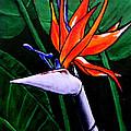 Bird Of Paradise by John Shipp