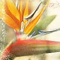 Bird Of Paradise - Strelitzea Reginae - Tropical Flowers Of Hawaii by Sharon Mau