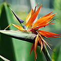 Bird Of Paradise by Teresa Blanton