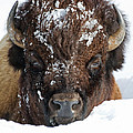Bison In Snow by Max Waugh