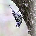 Black And White Warbler by Travis Truelove