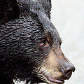 Black Bear by Brian Wartchow