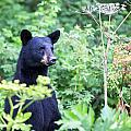 Black Bear by Kyle Lavey
