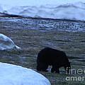 Black Bear by Sara Gravely- Comstock