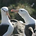 Black Browed Albatross Pair by Amanda Stadther