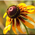 Black Eyed Susan by Karen Beasley