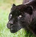 Black Jaguar  by Matthew Gibson