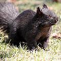 Black Squirrel by J McCombie