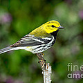 Black Throated Green Warbler by Anthony Mercieca