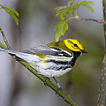 Black Throated Green Warbler by Jack R Perry