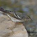 Blackpoll Warbler by Anthony Mercieca