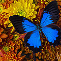 Blue Butterfly On Mums by Garry Gay