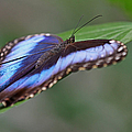 Blue Morpho Butterfly by Juergen Roth