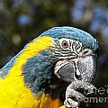 Blue Throat Macaw by Melissa Messick