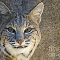 Bobcat by William H. Mullins