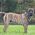 Boerboel Dog by Johan De Meester